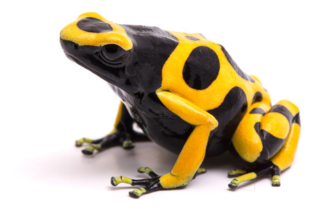 dendrobates: Yellow black bumblebee poison dart frog, Dendrobates leucomelas. A poisonous rain forest animal with warning colors isolated on a white background.