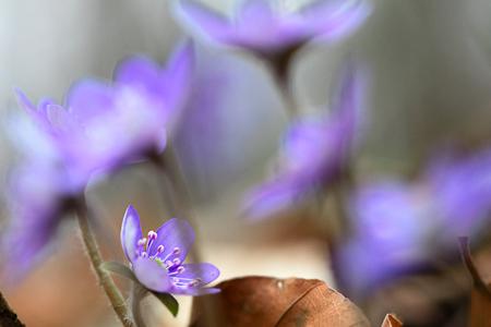 Blue spring wildflower liverleaf or liverwort, Hepatica nobilis. A delicate and fragile wild forest flower. Symbol for fragility soft focus image