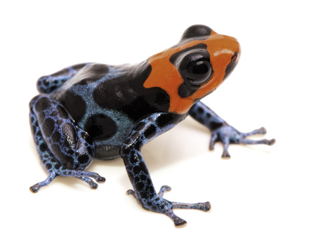 poison dart frog with red head, Ranitomeya benedicta. Poisonous rain forest animal with bright warning colors. Isolated on white background.  Stock Photo