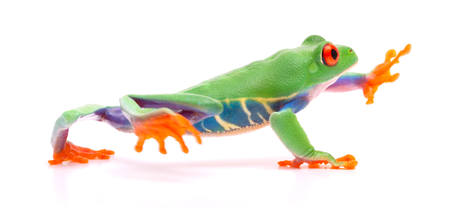 Red eyed tree frog walking, Agalychnis callydrias. A tropical rain forest animal with vibrant eye isolated on a white background.   Stock Photo