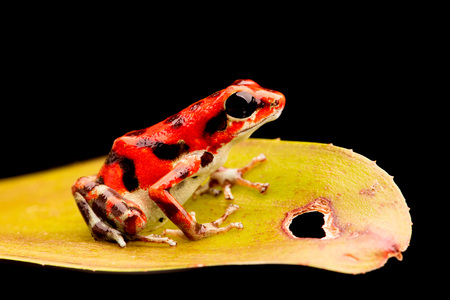strawberry frog: Strawberry poison arrow frog from Red Frog Beach on Bocas Del Toro, Panama. Stock Photo