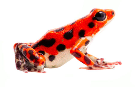 dendrobates: Poison dart frog from Red Frog Beach, Bastimentos, Panama. Tropical poisonous rain forest animal, Oophaga pumilio isolated on a white background. Stock Photo