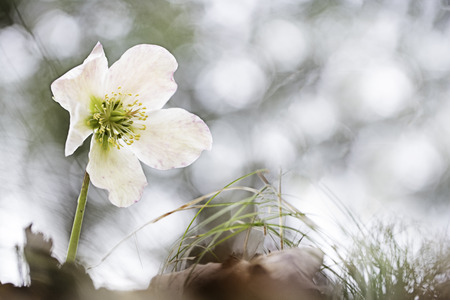 Helleborus niger, commonly called Christmas rose or black hellebore. A poisonous wild flower growing in the mountains of Slovenia. Stock Photo
