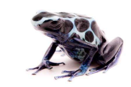 White poison dart frog, Dendrobates tinctorius oyapok, French Guyana. Macro of a poisonous Amazon rain forest animal. Isolated on white background. Stock Photo