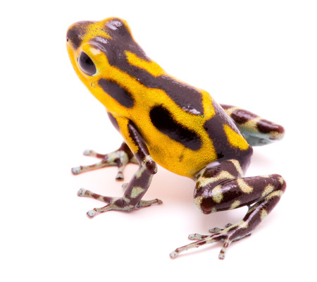 dendrobates: Poison arrow frog, an amphibain with vibrant yelllow.Tropical poisonous rain forest animal, Oophaga pumilio isolated on a white background.