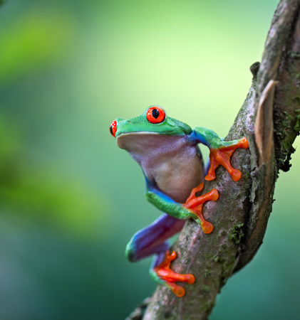 Red eyed tree frog, Agalychnis callydrias ready to jump. A tropical animal from the rain forest of Costa Rica