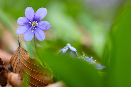 Blue spring wild flower, Hepatica nobilis in the pristine forest of Slovenia. A beautiful small wildflower macro. Liverleaf or liverwort is the name of these flowers. Stock Photo