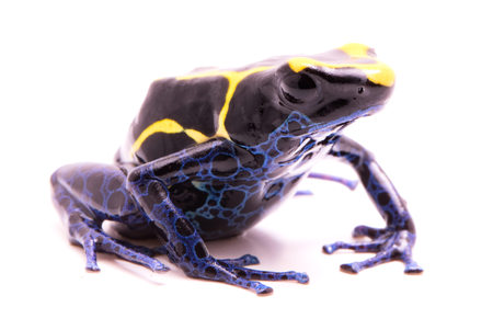 dendrobates: deying poison dart frog, Dendrobates tinctorius. A poisonous Amazon rain forest animal isolated on white. Stock Photo