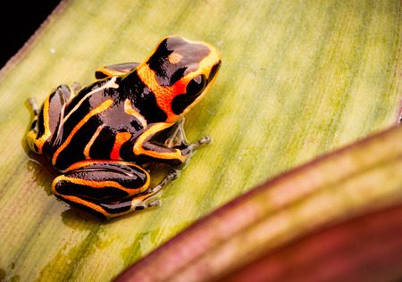 ranitomeya: poison dart frog, Ranitomeya fantastica striped morph. A small Dendrobates from the Amazon rain forest in Peru. This animal is an endangered species and needs nature conservation. Stock Photo