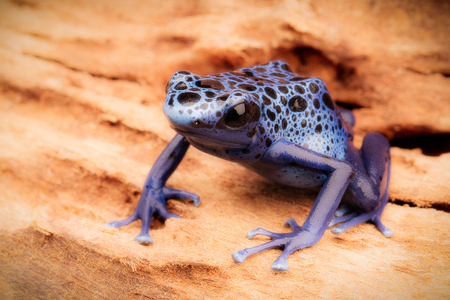 dendrobates: Blue and black poison dart frog, Dendrobates azureus. A beautiful poisonous rain forest animal in danger of extinction. Pet amphibian in a rainforest terrarium. Stock Photo