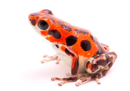 dendrobates: Red poison dart frog. Tropical poisonous rain forest animal, Oophaga pumilio isolated on a white background.