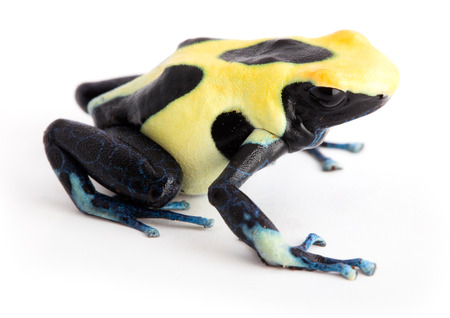 dendrobates: Yellow back poison dart frog Dendrobates tinctorius. Isolated on white. Stock Photo