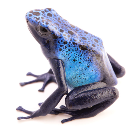 dendrobates: Dendrobates azureus, poison dart or arrow frog from the tropical Amazon rain forest in Suriname. A vivid blue animal isolated on a white background. Stock Photo