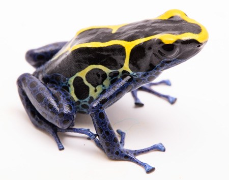 dendrobates: A blue black and yellow poison dart frog, Dendrobates tinctorius Kaw morph. A beautiful small exotic animal from the Amazon jungle in Suriname. Isolated on a white background.