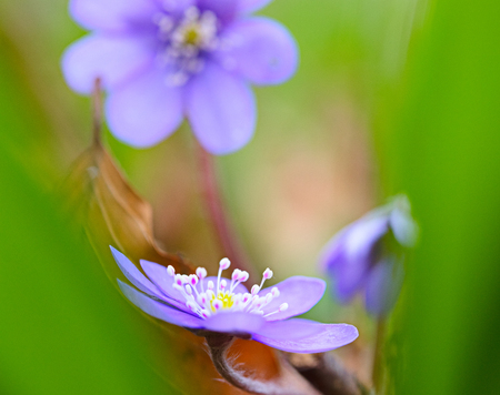 Blue spring wildflower abstract liverleaf or liverwort, Hepatica nobilis. A delicate and fragile wild forest flower. Symbol for fragility  Stock Photo