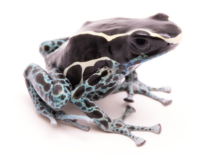 Male deying poison dart frog, Dendrobates tinctorius powder blue. A beautiful small exotic aniaml from the Amazon jungle in Suriname. Isolated on a white backgorund.  Stock Photo