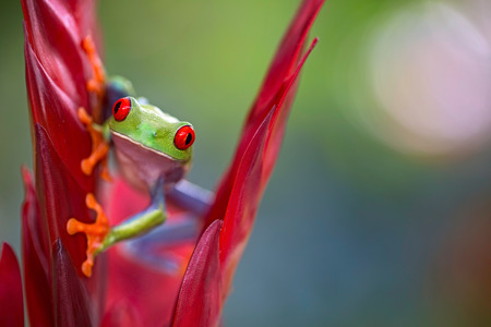 Red eyed tree frog from the rainforests of Central America. Agalychnis callidrias