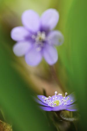 liverwort: Blue spring wildflower liverleaf or liverwort, Hepatica nobilis. A delicate and fragile wild forest flower. Symbol for fragility