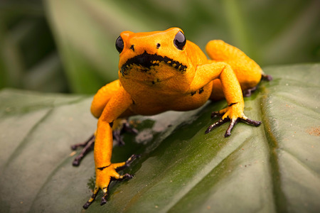 rain forest animal: poison dart frog, Phyllobates terribilis orange. Most poisonous animal from the Amazon rain forest in Colombia, a dangerous amphibian with warning colors.