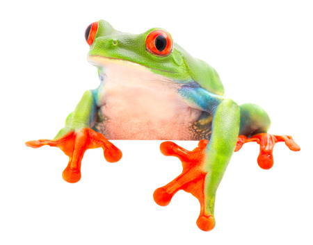 funny curious red eyed tree frog, Agalychnis callydrias a beuatiful colored animal from the rain forest of Costa Rica. Stock Photo