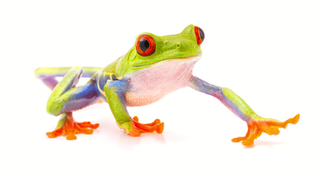 red eyed tree frog isolated on white, a beautiful tropical treefrog from the jungle of Costa Rica, Panama and Nicaragua. Rain forest animal. Stock Photo