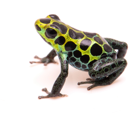 dendrobates: Poison dart frog, Ranitomeya variabilis. Macro of a beautiful rain forest animal from the Amazon jungle of Peru. Isolated on a white background. Stock Photo