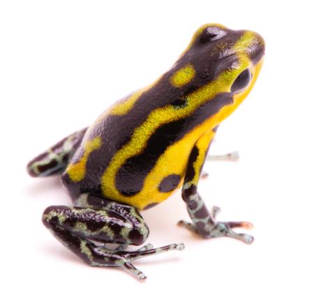 poisn arrow frog. Tropical poisonous rain forest animal, Oophaga pumilio isolated on a white background. Stock Photo