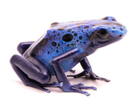 dendrobates: blue poison dart frog, Dendrobates azureus. A small poiosnous animal endangered by extinction and in need fro nature conservation. Isolated on white.