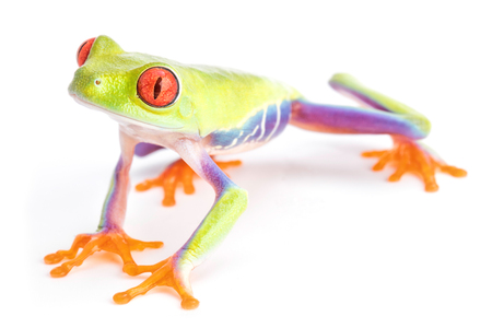 red eyed tree frog Agalychnis callydria or monkey treefrog from the rain forest of Costa Rica and Panama.