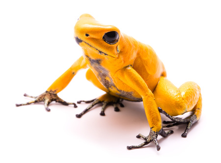 poison dart frog, Phyllobates terribilis yellow. Most poisonous animal from the Amazon rain forest in Colombia, a dangerous amphibian with warning colors. Isolated on white Stock Photo
