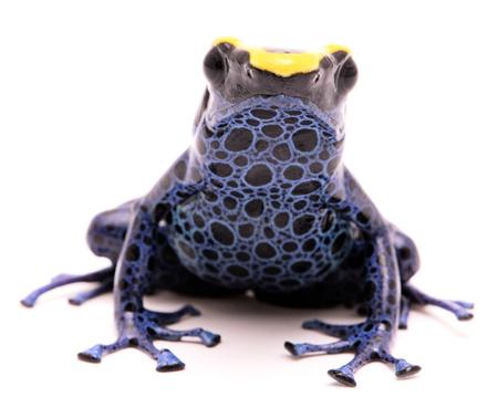 독 다트 개구리, Dendrobates tinctorius Kaw morph. 수리남에서 아마존 정글에서 아름 다운 작은 이국적인 동물. 흰색 배경에 고립. 스톡 콘텐츠