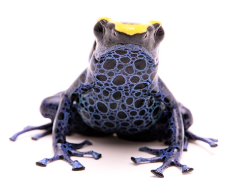 A poison dart frog, Dendrobates tinctorius Kaw morph. A beautiful small exotic animal from the Amazon jungle in Suriname. Isolated on a white background.