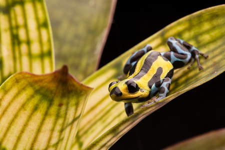 dendrobates: poison arrow frog with yellow lines and blue spotted leggs, Ranitomeya lamasi highland from the tropical Amazon rain forest in Peru.