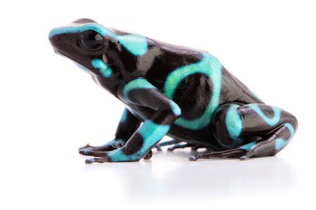 Poison Dart Frosch Dendrobates auratus Standard-Bild - 99361052