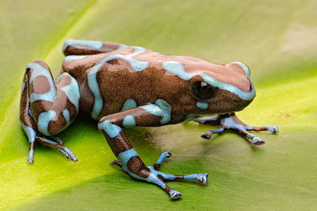 Poison arrow frog, Dendrobates auratus from the tropical rain forest of Panama. Standard-Bild - 99361053