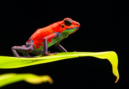 red strawberry poison dart frog Costa rica and Nicaragua. Beautiful poisonous animal from the central american tropical rain forest. Macro exotic amphibian Standard-Bild - 99361055