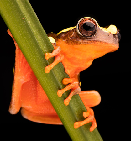 Leaf or tree frog, Dendropsophus leucophyllatus. Treefrog with vibrant red color from the Amazon rain forest in Brazil, Peru, Ecuador and Bolivia. Standard-Bild - 99275132