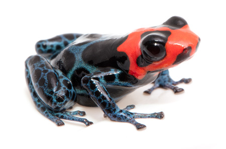 blue red and black poison dart frog from the rain forest of Peru, Ranitomeya benedicta Imagens - 99275133