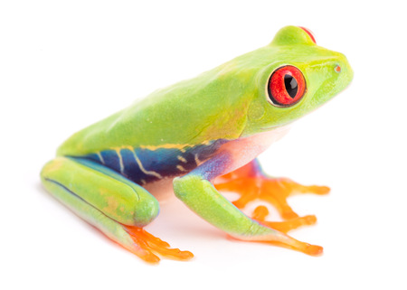 Agalychnis callidryas or the red eyed monkey tree frog, from the rain forest of Panama and Costa Rica isolated on white. Standard-Bild - 99307629