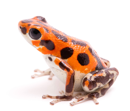 Poison arrow or dart frog, a beautiful orange amphibian. Tropical poisonous rain forest animal, Oophaga pumilio isolated on a white background. Standard-Bild - 99275134