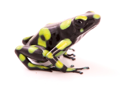 poison arrow frog isolated on a white background. Dendrobates auratus a poisonous animal from the tropical rain forest of Colombia.
