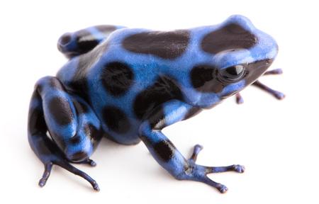 blauer Pfeilgiftfrosch, Dendrobatees auratus. Ein giftiges Tier aus den Regenwäldern Mittelamerikas isoliert auf weißem Hintergrund.