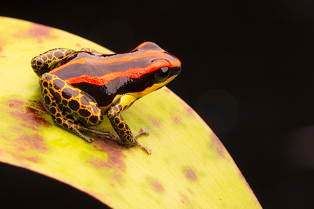 poison dart or arrow frog, Ranitomeya uakarii golden legs morph. A small Dendrobates from the Amazon rain forest in Peru. This animal lives in the tropical Amazon rain forest of Peru. Stockfoto