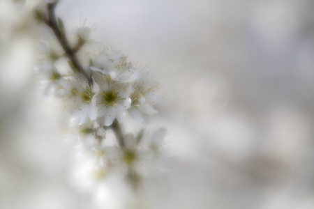 hawthorn, or quickthorn in soft focus and shallow DOF. This tree flower  has many common names like thornapple, May-tree,whitethorn, hawberry or Crataegus . Blooming in small white flowers.