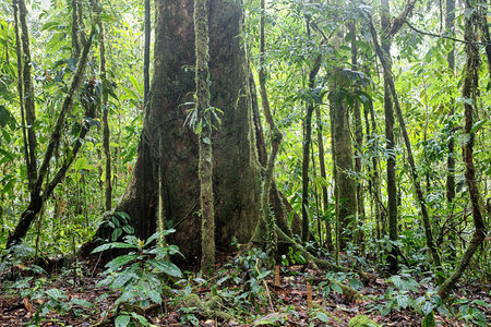 Giant rain forest tree in tropical Amazon jungle of Colombia. Stock Photo