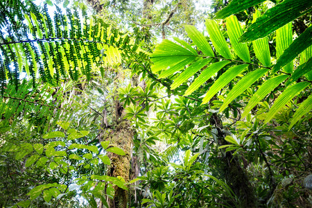 canopy of tropical Amazon rain forest fern and tree leafs
