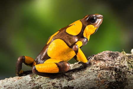 dartfrog or harlequin poison dart frog, Oophaga histrionica, a poisonous animal from the rain forest in Colombia. Jungle amphibian with bright yellow warning colors Imagens