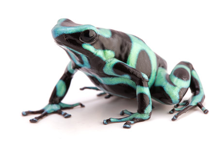 poison dart frog, Dendrobates auratus. A poisonous animal from the tropical rain forest of Panama and Costa Rica isolated on white.