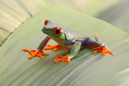 Red eyed tree frog, or Agalychnis callydrias a small beautiful amphibian from the jungle of Costa Rica. Stockfoto