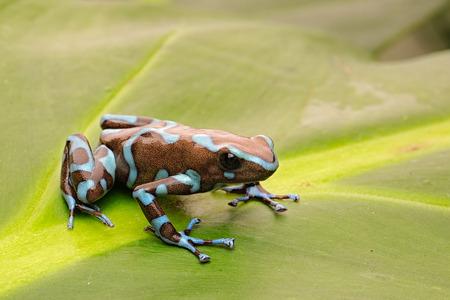 Giftpfeilfrosch, Dendrobates auratus aus dem tropischen Regenwald von Panama.